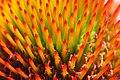 Echinacea angustifolia - 01Aug2009 - 02.jpg