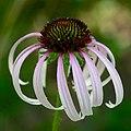 Echinacea sanguinea.jpg