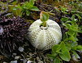 Echinoidea.JPG