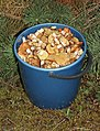 Edible fungi in bucket 2015 G1.jpg