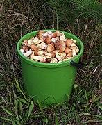 Edible fungi in bucket 2020 G1.jpg