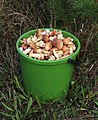 Edible fungi in bucket 2020 G1.jpg