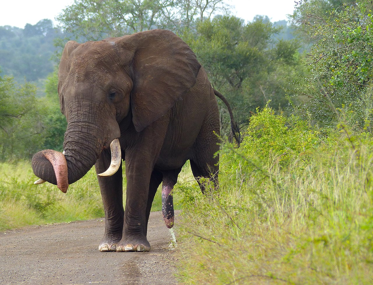 File:elephant loxodonta africana male im quite sure pa i ssing