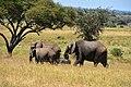 Elephants, Tarangire National Park (51) (28080698833).jpg