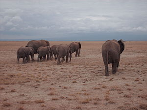 six Elephants in Kenya from behind