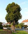 Elliehausen Linde 02.jpg
