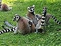 Em - Lemur catta - 18.jpg