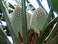 Encephalartos altensteinii, vroulike keëls, Manie van der Schijff BT, b.jpg