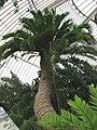 Encephalartos altensteinii3.jpg