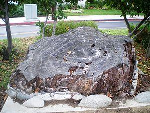Encino Oak Tree - Encino Oak Tree stump