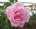 Epcot rose.jpg