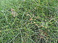 Ephedra tweediana 1.JPG