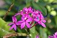 Epidendrum radicans Purple Star 0zz.jpg
