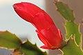 Epiphyllum truncatum 1.jpg