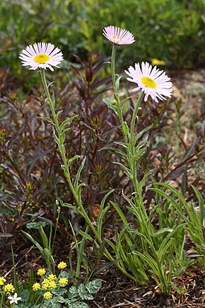 Description de l'image Erigeron peregrinus 5873.JPG.