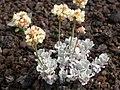 Eriogonum ovalifolium depressum (4350716934).jpg