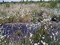 Eriophorum vaginatum Standort.jpg