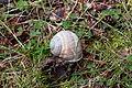 Errant Snail (15684986667) (2).jpg