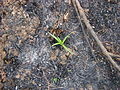 Eryngium paniculatum - Incendio Palmar El Salto, Viña del Mar, febrero 2012 por Pato Novoa.jpg