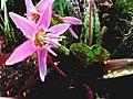 Erythronium dens-canis 'Purple King'.jpg
