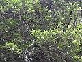 Erythropalum acuminatum-2-chemungi-kerala-India.jpg