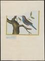 Estrilda bengalus - 1700-1880 - Print - Iconographia Zoologica - Special Collections University of Amsterdam - UBA01 IZ15900137.tif