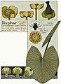 Etude de la plante - p.58 fig.68 - Nénuphar jaune.jpg