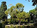 Eucaliptus - arbre d'interès local - parc de Vil·la Amèlia P1280078.jpg