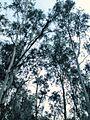 Eucalyptus Forest - panoramio.jpg