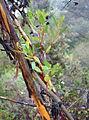 Eucalyptus conferruminata - UC Santa Cruz Arboretum - DSC07379.JPG