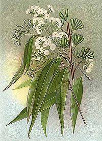 Eucalyptus microcorys Minchen