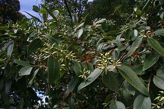 Eucalyptus robusta - Image: Eucalyptus robustarbgsyd 1