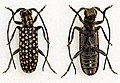 Eunidia guttulata (11251614375).jpg