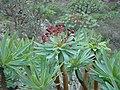 Euphorbia atropurpurea (Euphorbiaceae) (3).jpg