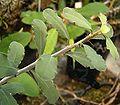Euphorbia banae ies.jpg
