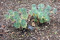 Euphorbia characias 'Portuguese Velvet' - McConnell Arboretum & Botanical Gardens - DSC02944.JPG