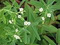 Euphorbia corollata (15096950165).jpg