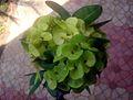 Euphorbia flower show 4.JPG