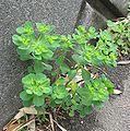Euphorbia helioscopia1.jpg
