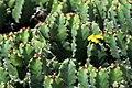 Euphorbia resinifera in Jardin de Cactus on Lanzarote, June 2013 (3).jpg