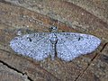 Eupithecia sp. (2939540386).jpg