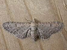 Eupithecia ultimaria.jpg