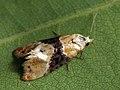 Eupoecilia ambiguella - Vine moth (26451489497).jpg