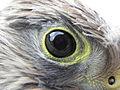 Eurasian Kestrel (Falco tinnunculus).jpg