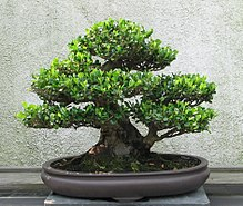 Terrific Bonsai Wikipedia Wiring 101 Mecadwellnesstrialsorg