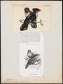 Eurylaimus sumatranus - 1700-1880 - Print - Iconographia Zoologica - Special Collections University of Amsterdam - UBA01 IZ16700289.tif