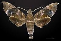 Eurypteryx bhaga MHNT CUT 2010 0 27 Wang Chin District, Phrae Province, Thailand male dorsal.jpg