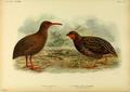 Extinctbirds1907 P28 Cabalus modestus0347.png