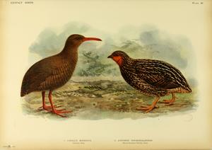 New Zealand quail - Image: Extinctbirds 1907 P28 Cabalus modestus 0347