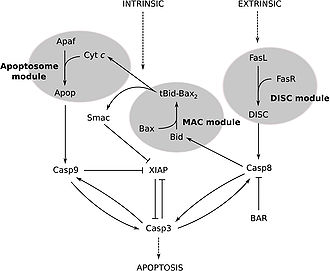 Caspase 3 - Image: Extrinsic and intrinsic pathways to caspase 3 activation